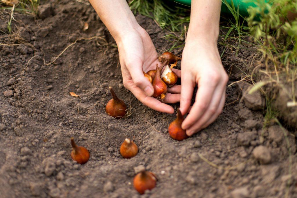 planter des bulbes