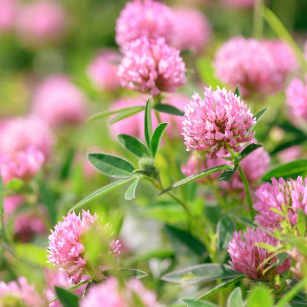 Fleurs de trèfle rose